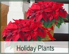 Flowering Holiday Poinsettias, trimmed with basket and bow and hand-delivered around Atlanta and across the USA.