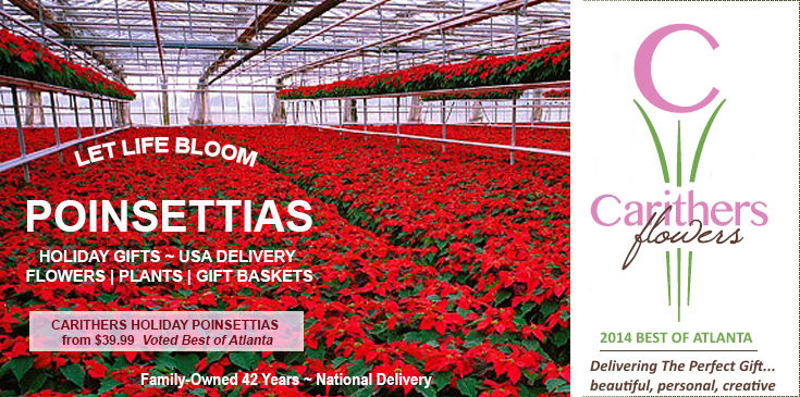 Holiday Poinsettias in Atlanta GA with same day delivery in Atlanta, Alpharetta, Buckhead, Decatur, Duluth, Dunwoody, Kennesaw, Lawrenceville, Marietta, Roswell, Sandy Springs, Smyrna, Vinings & Woodstock GA.  Voted Best Florist.