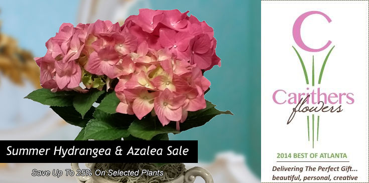 Carithers Flowers is offering an incredible Summer sale on Hydrangea and Azalea plants.