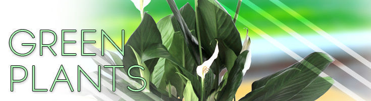 Florists Quality Green Plants