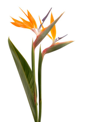 bird of paradise bird of paradise flower bird of paradise flowers