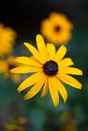 black eyed susan black eyed susan flower black eyed susan flowers