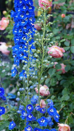 Volkerfrieden Blue Delphinium Volkerfrieden Blue