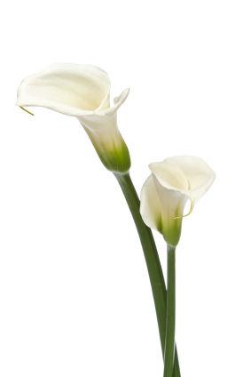 calla lily, calla lily flower, calla lily flowers