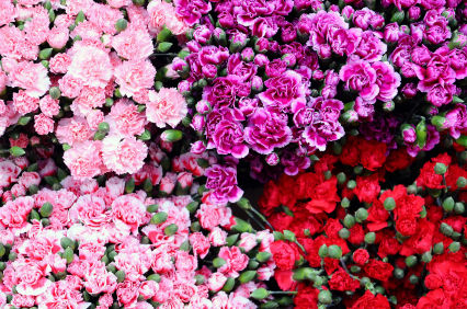 carnation, carnations, carnation flower, carnation flowers, Natural flower