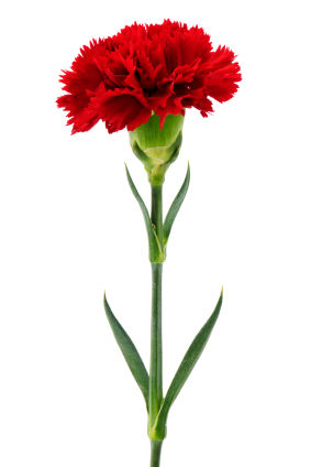 carnation, carnations, carnation flower, carnation flowers