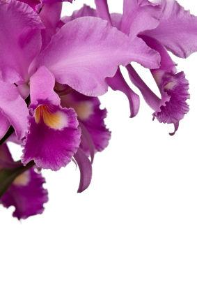 Cattleya Orchid Cattleya Orchids Cattleya Orchid Flower