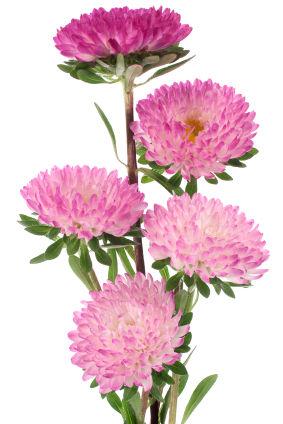 China aster china asters china aster flowers photos of china aster mightylinksfo