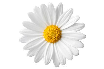 Langage des fleurs Daisy111080783941