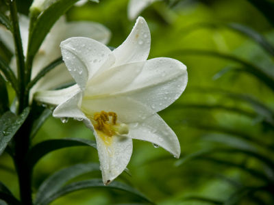 images of easter lilies. Photos of Easter Lilies