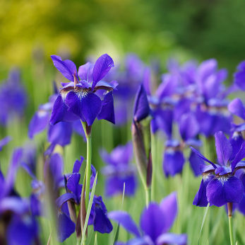 iris, iris flower, iris flowers, Natural flower