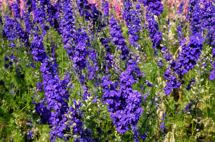 larkspur larkspur flower larkspur flowers