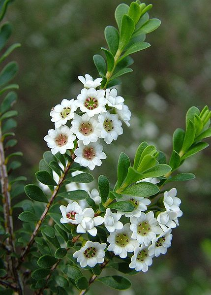 thryptomene calycina, heath myrtle, Natural flower