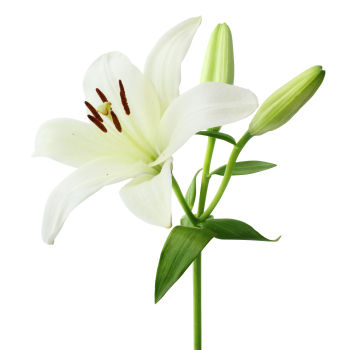 white lily, white lily flower, white lily flowers, Natural flower