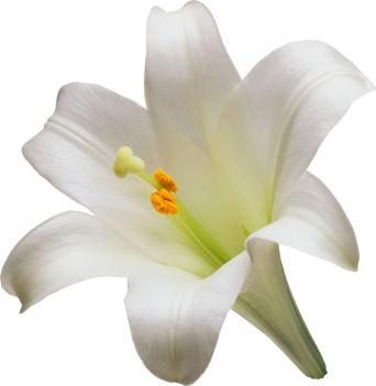white lily, white lily flower, white lily flowers, Beautiful flower