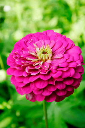 Zinnia Zinnias Zinnia Flowers Carithers Flowers Edu Center