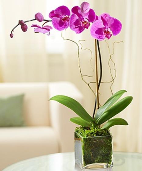 Luxurious Purple Phalaenopsis Orchid