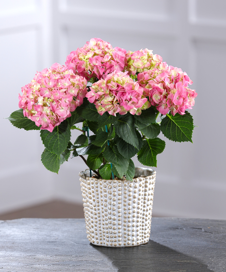 Pink Hydrangea in Decor Container