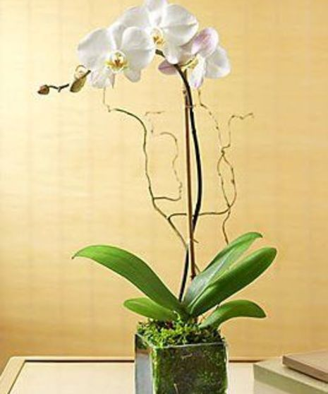 Luxurious White Phalaenopsis Orchid