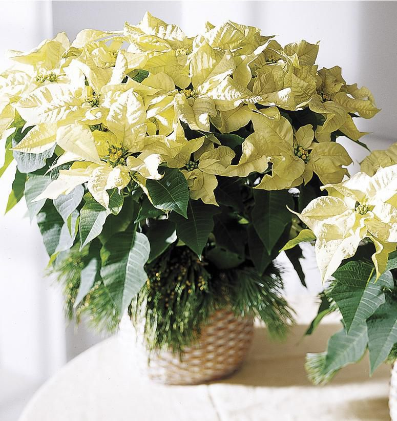 Christmas White Poinsettia - Deliver a festive gift for the Holidays!