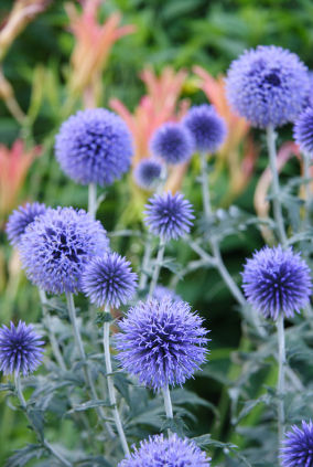 Photos Of Blue Thistle Flowers