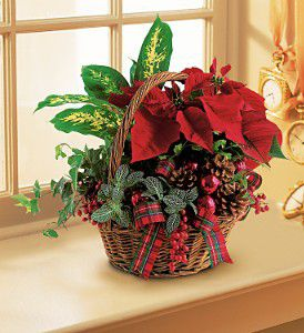 Send a Poinsettia Garden for Christmas and celebrate the Holidays! A terrific gift