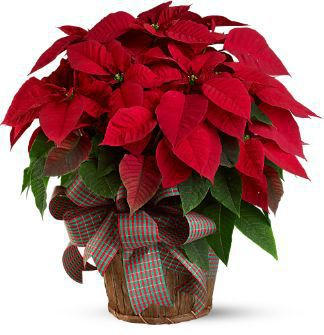 Deliver a Festive Christmas Poinsettia - the perfect Holiday Gift